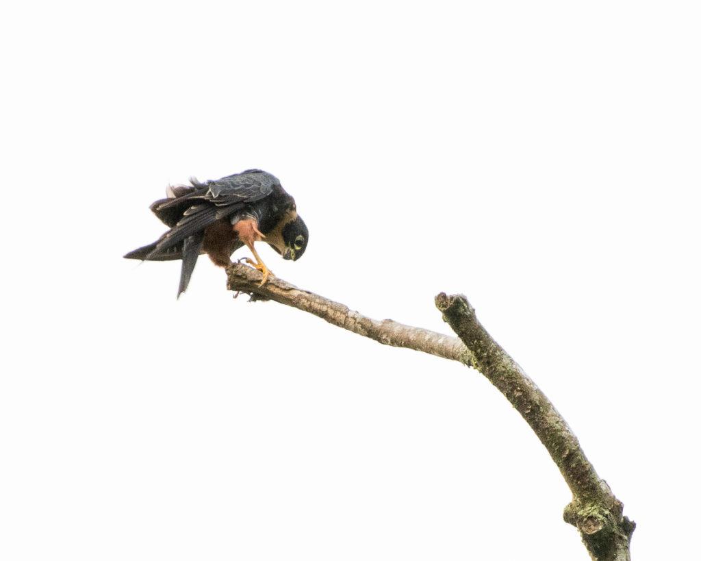 Bat Falcon at the Asa Wright Nature Centre