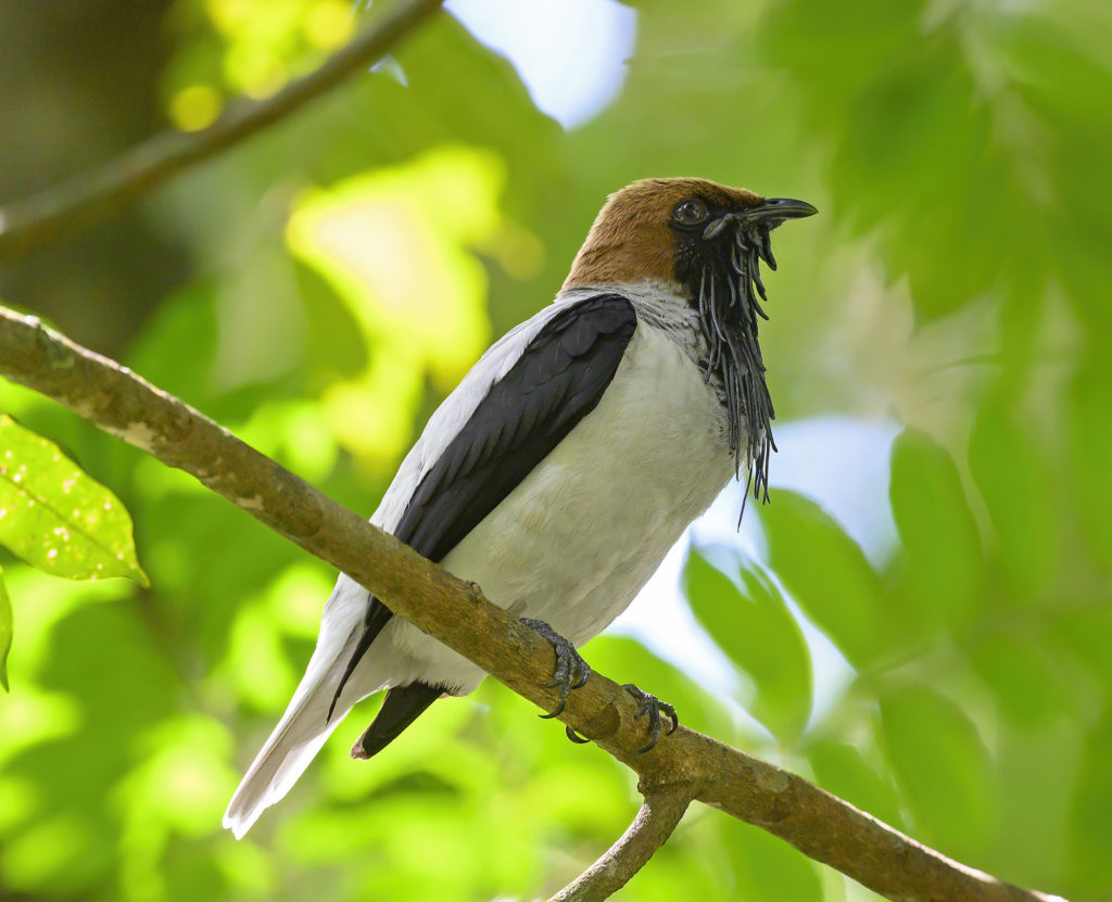 Bearded Bellbird at the Asa Wright Nature Centre Global Big Day 2020