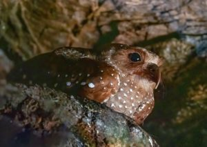 Oilbird at the Asa Wright Nature Centre Global Big Day 2020