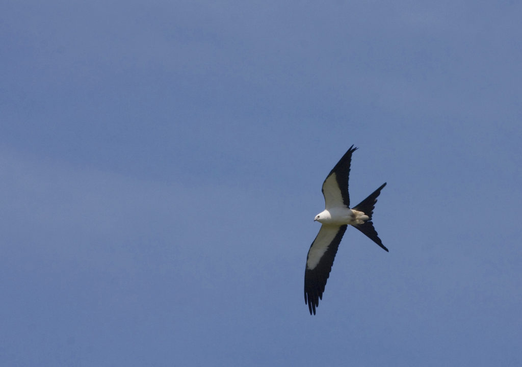 Swallow-tailed Kite at the Asa Wright Nature Centre Global Big Day 2020