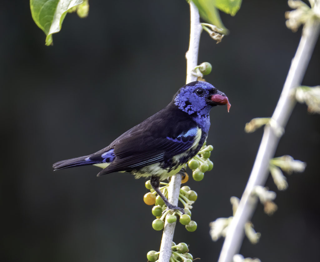 Turquoise Tanager at the Asa Wright Nature Centre Global Big Day 2020