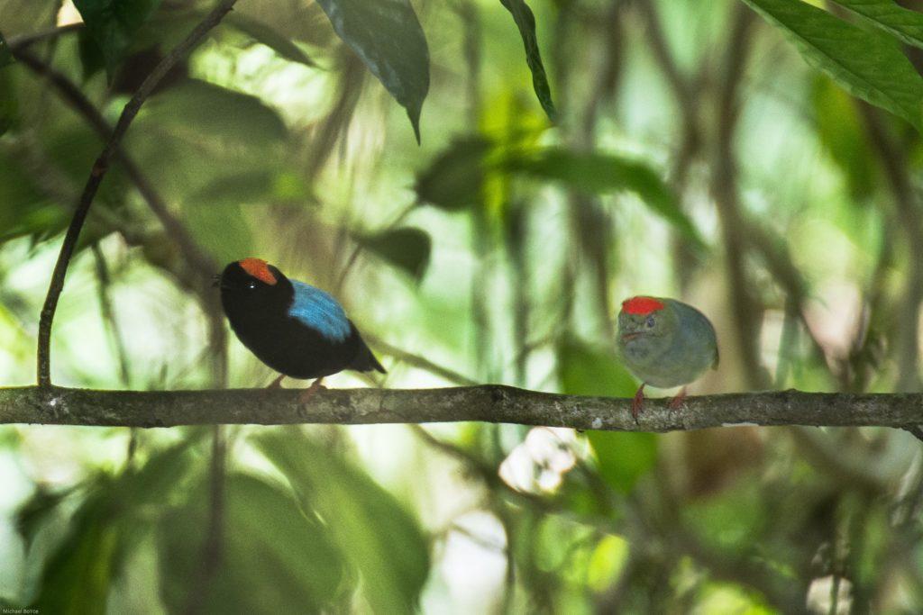 Trinidad and Tobago birding can produce an impressive eBird checklist including Blue-backed Manakin.