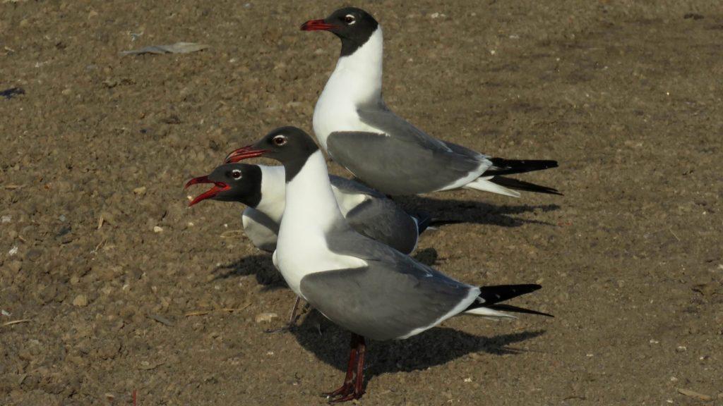 Trinidad and Tobago birding can produce an impressive eBird checklist including Laughing Gull