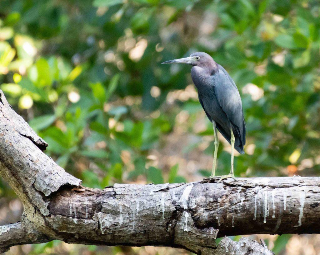 Trinidad and Tobago birding can produce an impressive eBird checklist including Little Blue Heron