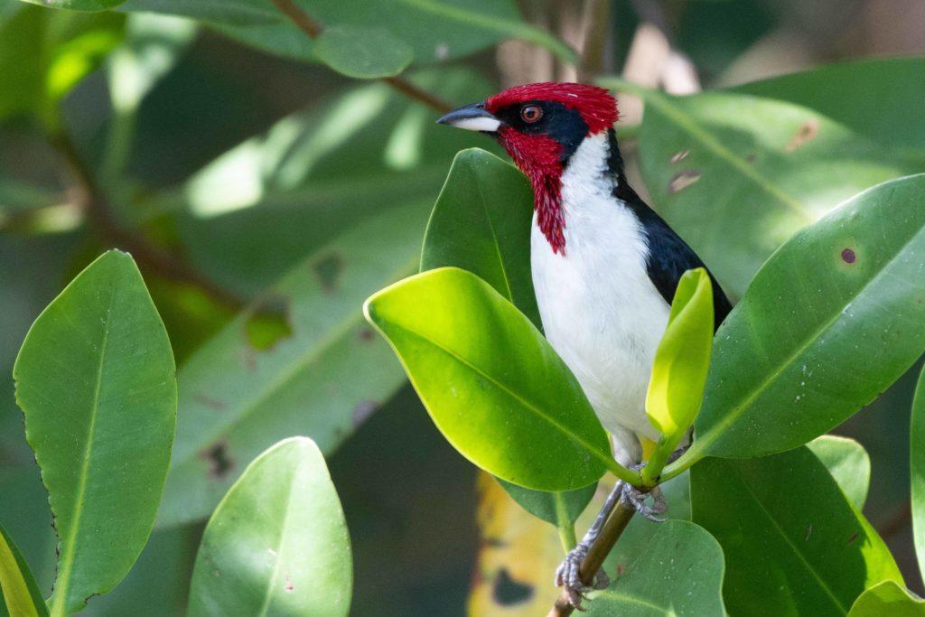 Trinidad and Tobago birding can produce an impressive eBird checklist including Mask Cardinal