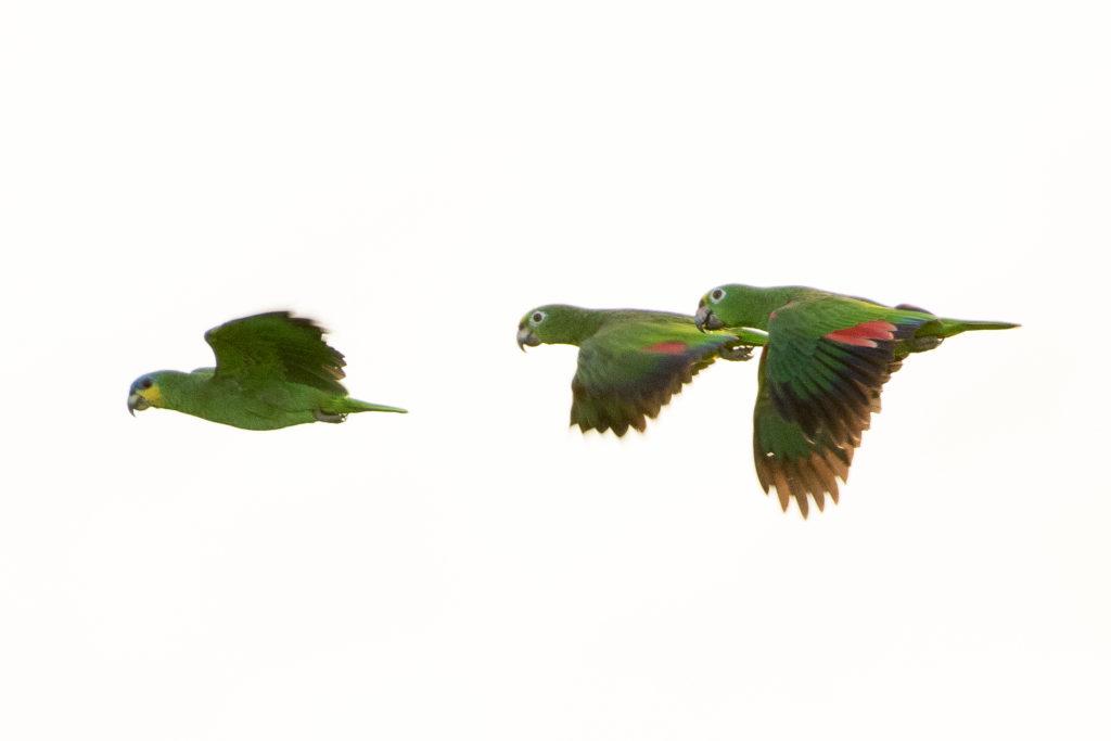 Trinidad and Tobago birding can produce an impressive eBird checklist including Orange-winged Macaw