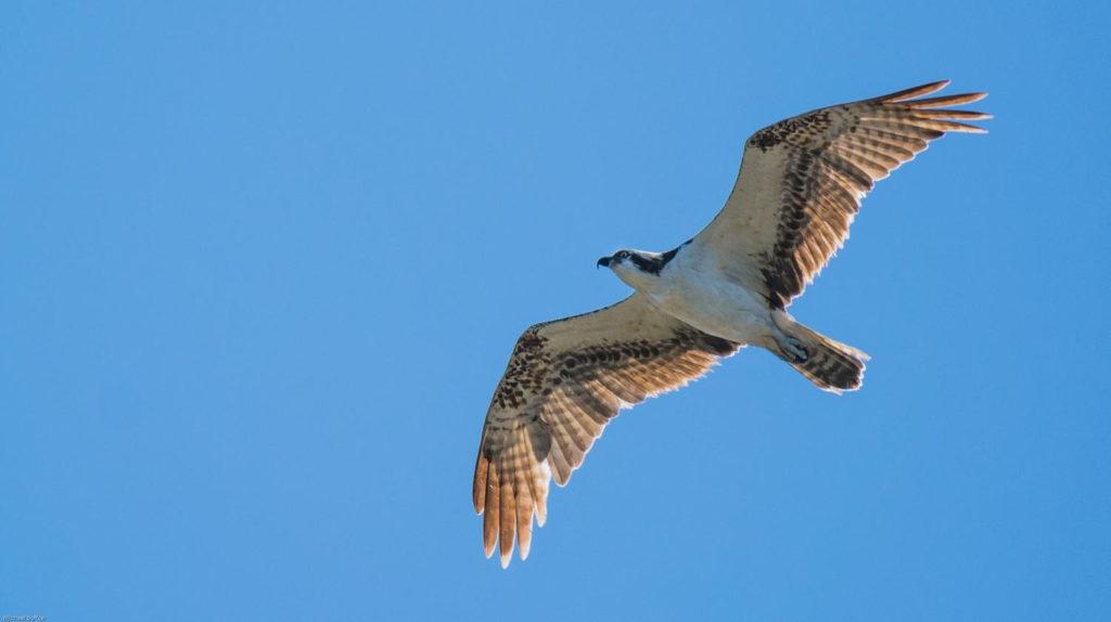 Trinidad and Tobago birding can produce an impressive eBird checklist including Osprey