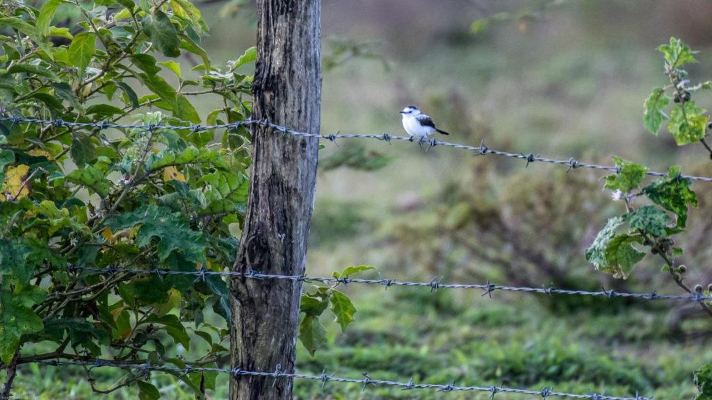 Trinidad and Tobago birding can produce an impressive eBird checklist including Pied Water Tyrant