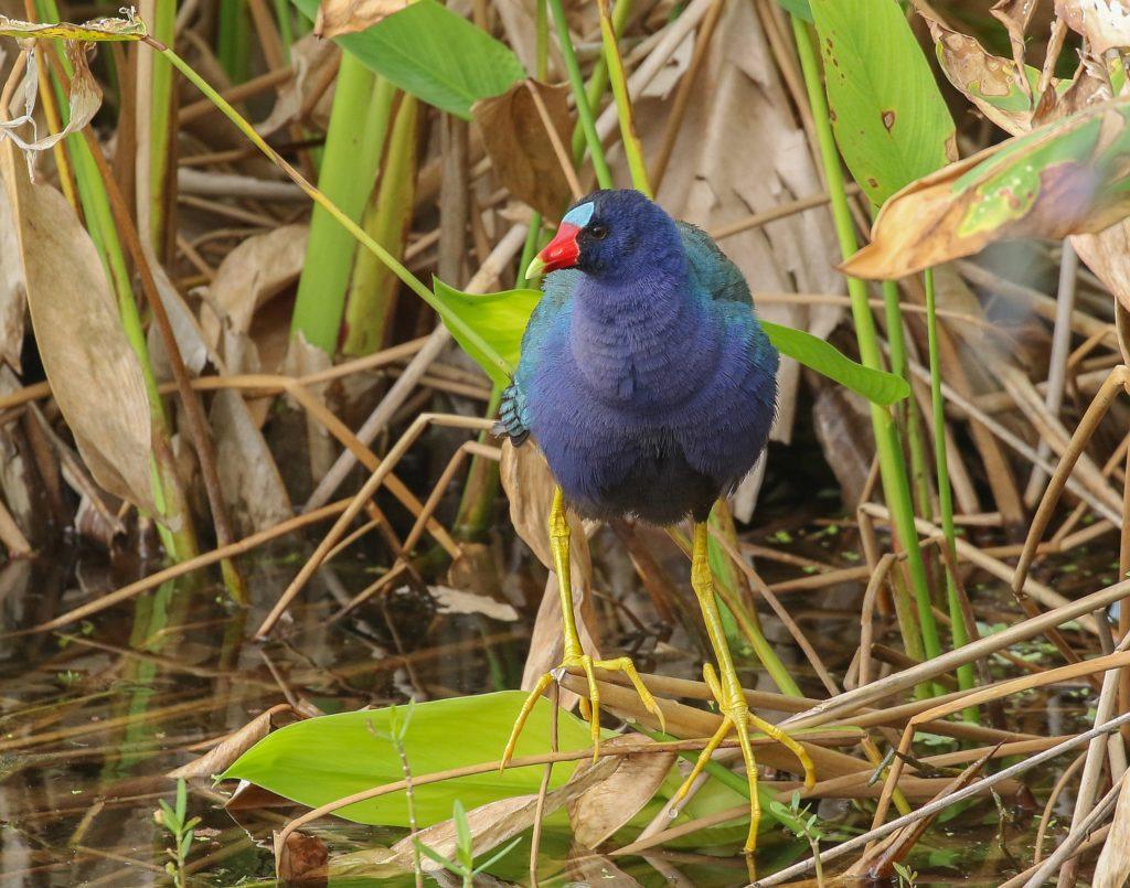 Trinidad and Tobago birding can produce an impressive eBird checklist including Purple Gallinule