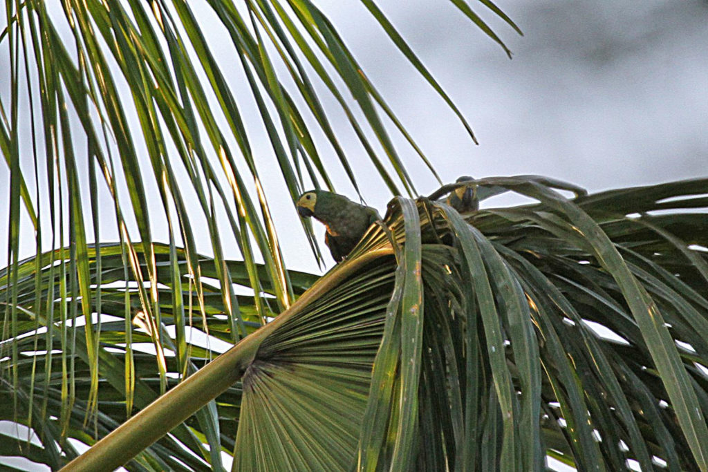 Trinidad and Tobago birding can produce an impressive eBird checklist including Red-bellied Macaw
