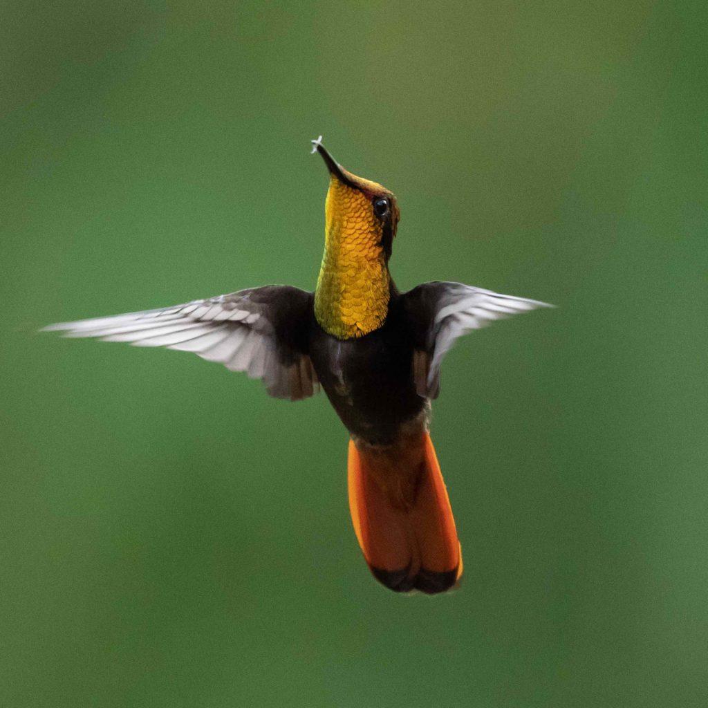 Trinidad and Tobago birding can produce an impressive eBird checklist including Ruby Topaz.