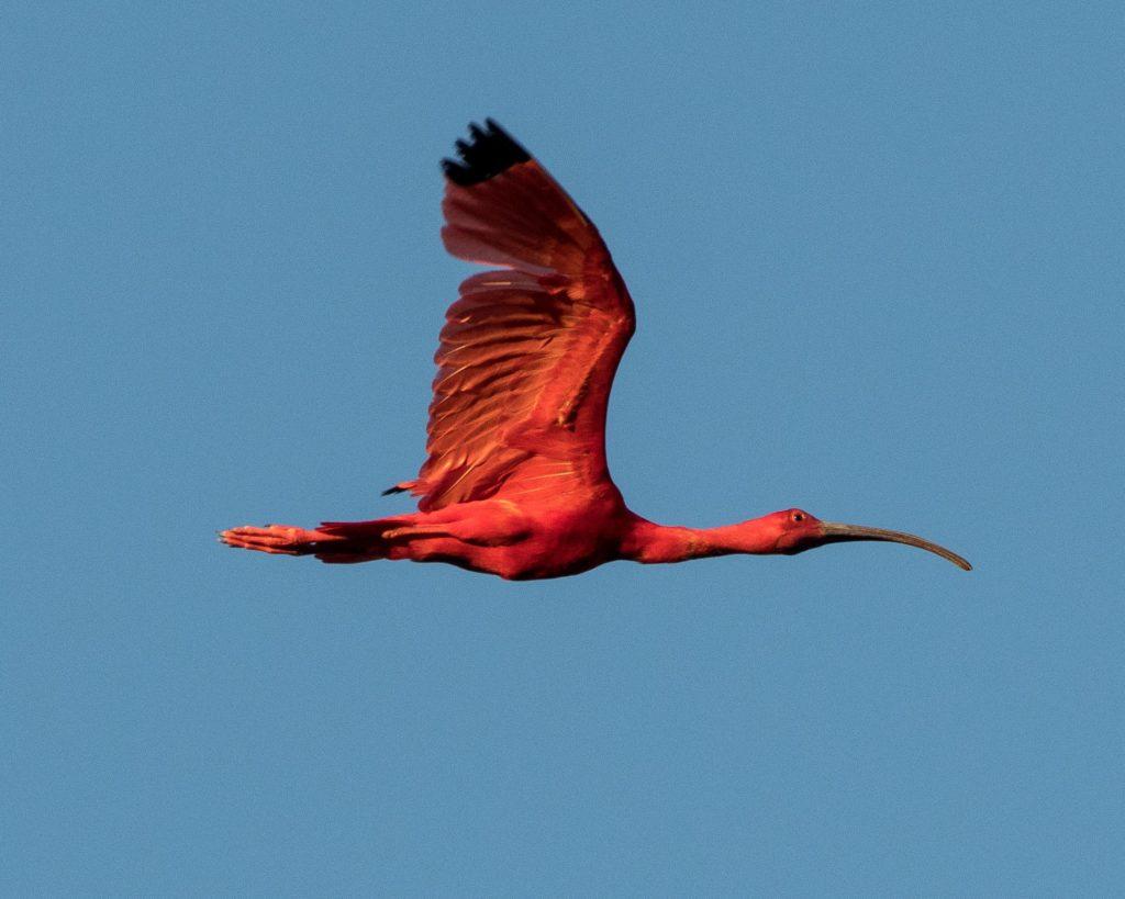Trinidad and Tobago birding can produce an impressive eBird checklist including Scarlet Ibis