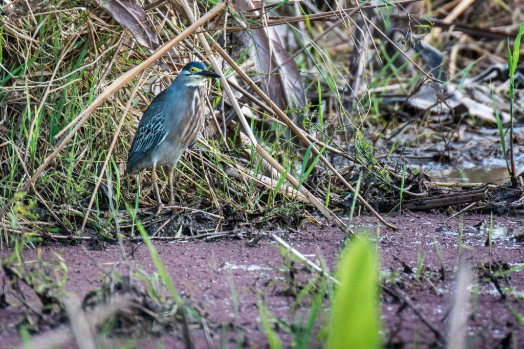Trinidad and Tobago birding can produce an impressive eBird checklist including Striated Heron.