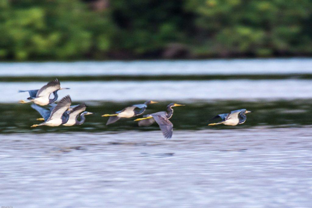 Trinidad and Tobago birding can produce an impressive eBird checklist including Tricolored Heron.