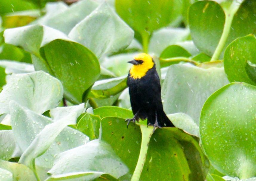 Trinidad and Tobago birding can produce an impressive eBird checklist including Yellow-hooded Blackbird.