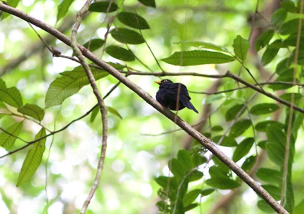Trinidad and Tobago birding can produce an impressive eBird checklist including Yellow-legged Thrush